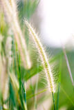 Tropical wild cereal grass in field Stock Photo