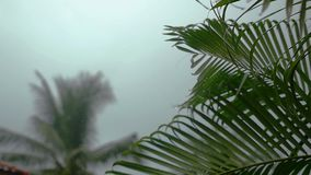 Tropical wind and rain drops falling on the green palm tree leaves in slow motion, 1920x1080. Hd stock video footage
