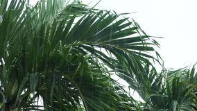 Tropical wind and rain. Drops falling on the green palm tree leaves stock video footage