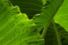 Tropical Yam Leaves. Abstract close-up of yam leaves Royalty Free Stock Images