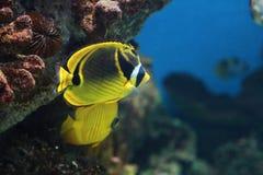 Tropical yellow and black aquarium fish, closeup photo Stock Photos