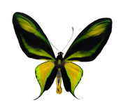 Tropical yellow, black and green butterfly Royalty Free Stock Image