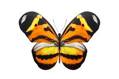 Tropical orange butterfly. isolated on white background. Orange butterfly. isolated on white background royalty free stock photos
