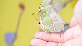 Tropical yellow butterfly sitting on finger. Tropical yellow butterfly sitting on human finger stock video footage