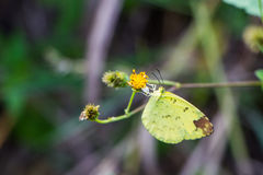 Tropical yellow butterfly sitting on a flower. Large tropical yellow butterfly sitting on a flower stock images