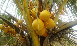 Tropical yellow coconuts. Yellow or cherry coconuts from Senegal Africa. They are of mature palms in large and sweet clusters Stock Image