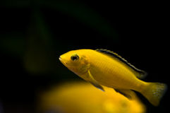 Tropical yellow fish Royalty Free Stock Photo