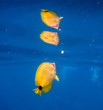 Tropical yellow fish with reflection in vibrant blue water. Tropical yellow fish with spots swimming in vibrant blue warm Hawaii ocean water. Adventure of Royalty Free Stock Photos