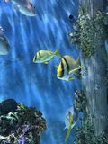 Tropical Yellow Fish Swimming in a Tank Florida Stock Photo