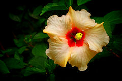 Tropical yellow hibiscus flower Royalty Free Stock Photography