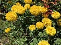 Tropical yellow marigold Tagetes erecta L. stock photo