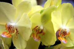 Tropical yellow orchids Stock Photos