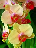 Tropical yellow orchids royalty free stock image