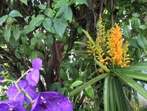 Tropical yellow and purple orchid royalty free stock image