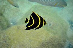 Tropical yellow striped fish at Cozumel Mexico Stock Image