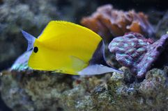 Yellow surgeon fish Royalty Free Stock Images