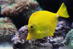 Tropical yellow tang aquarium fish, closeup photo Royalty Free Stock Images
