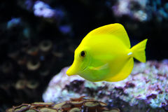 Tropical yellow tang on a coral reef Royalty Free Stock Photography