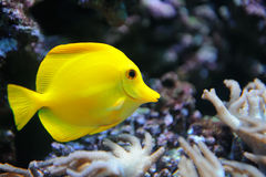 Tropical yellow tang on a coral reef Stock Photography