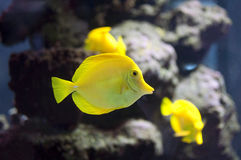 Tropical yellow tang fish Royalty Free Stock Photography