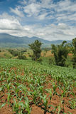 Tropical young cornfields Royalty Free Stock Photography