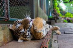 Tropical Young Orange Striped Tiger Paw in Mouth in Tiger Temple. Thailand North Chang Mai royalty free stock images