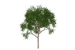 Tropicale dell'albero arancione isolato Fotografia Stock