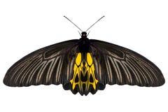 Tropicale dell'insetto della farfalla isolato sul BAC bianco Fotografie Stock