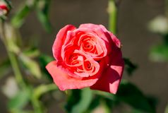 Tropicana Hybrid Tea Rose plant full bloom. On a nice sunny day in garden Royalty Free Stock Photo