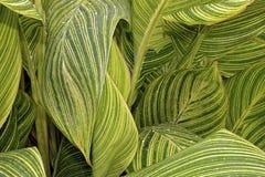tropicanna лилии canna Стоковые Изображения