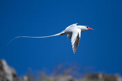 Tropicbird. Flying tropicbird shot at the Galapagos Islands Stock Image