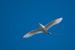 Tropicbird Rojo-atado Imagen de archivo libre de regalías