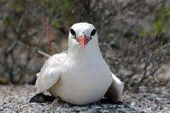 Tropicbird Rouge-suivi Photographie stock libre de droits