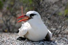 Tropicbird Rouge-suivi Photos stock