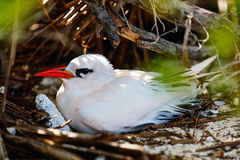 Tropicbird Vermelho-atado Imagens de Stock Royalty Free