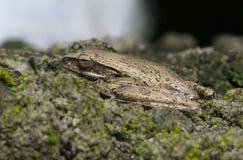 Tropikalna żaba na kamiennym macrophoto Dziecko żaba z mokrym skóry zbliżeniem Obrazy Royalty Free