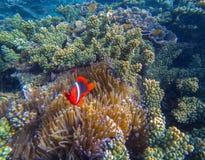 Tropikalna błazen ryba w różowych aktynach Czerwoni clownfish i denna roślina fotografia royalty free