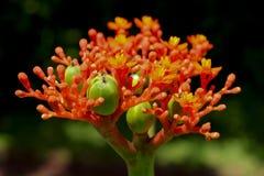 Tropikalna Buddha brzucha roślina jak widzieć w górę fotografia stock