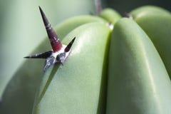 Tropikalna catus roślina Obrazy Royalty Free