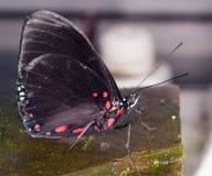 Tropikalna czerwień spoted motyl Zdjęcie Royalty Free