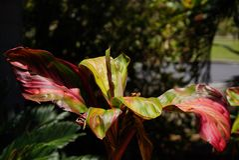 Tropikalna czerwieni i zieleni liścia roślina Zdjęcia Stock