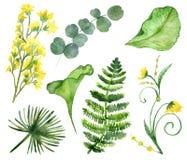 Tropikalna Deciduous kolekcja z żółtymi kwiatami akacja i Lysimachia ilustracji