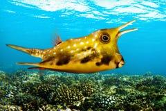 Tropikalna denna ryba Lactoria cornuta - longhornu cowfish - Zdjęcie Royalty Free