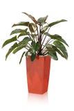 tropikalna domowa roślina Fotografia Stock