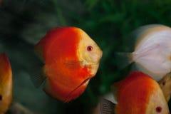 tropikalna dysk kolorowa ryba Zdjęcie Royalty Free