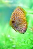 Tropikalna dysk ryba Zdjęcie Royalty Free