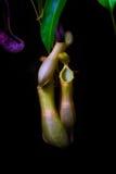 Tropikalna flytrap miotacza roślina Zdjęcia Royalty Free