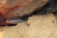 Tropikalna girdled jaszczurka Zdjęcie Stock