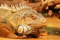tropikalna kierownicza jaszczurka Fotografia Stock