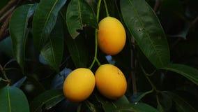 Tropikalna owoc, dojrzały Mariański śliwkowy obwieszenie na drzewie zbiory